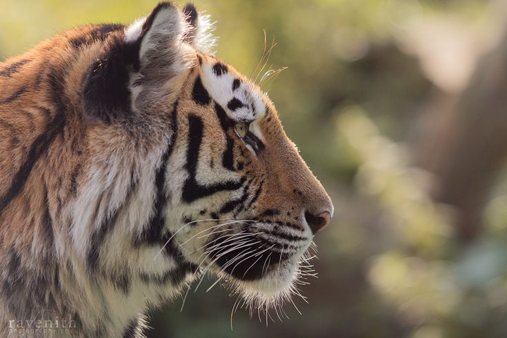 Tiger profile. by Ravenith.deviantart.com on @DeviantArt