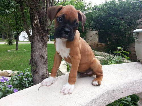 Pure Bred Boxer Puppies - To keep Daisy company ;)