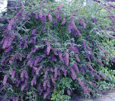 Butterfly Bush Attracts Hummingbirds And Butterflies