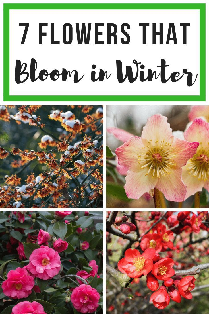 7 Colorful Flowers That Bloom In Winter Winter Flowers Garden Winter Vegetables Gardening Winter Plants