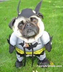 Hahahaha: Animals, Dogs, Pet, Costume, Pugs, Batman, Funnies