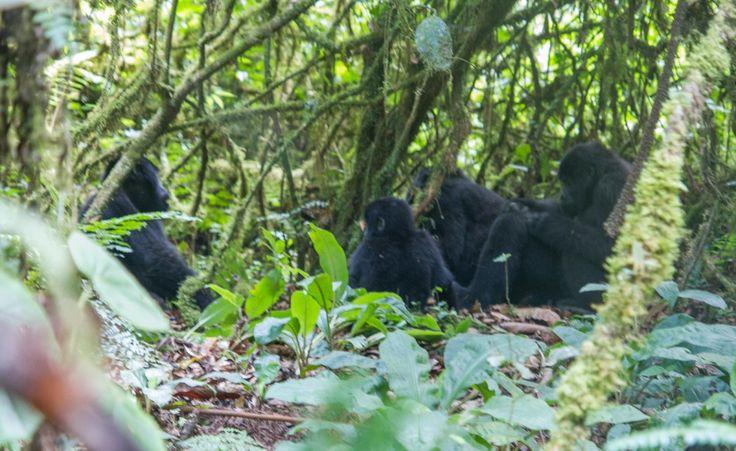 That time we went gorilla trekking