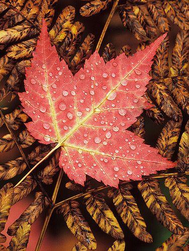 Red Maple leaf on Bracken Fern
