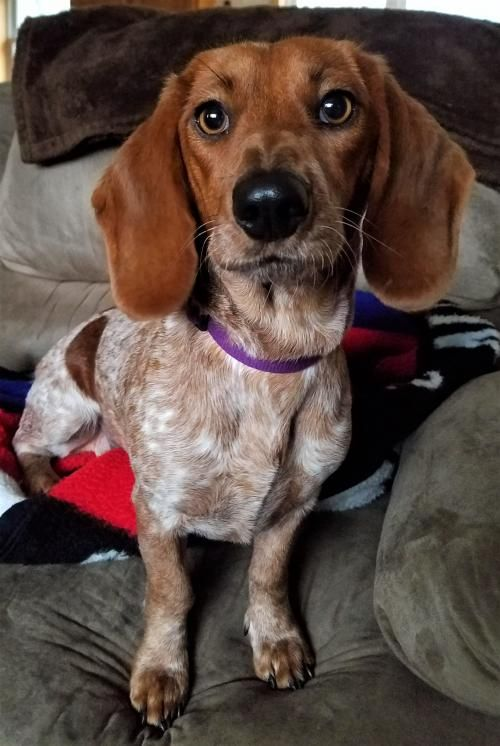 Hi I'm Susie ! Santa says you asked for a #sweet #loving #young #dachshund #beagle mix girl who #loves to #play and can sing like an angel ! I'm getting my toys packed while you get my #adoption papers filled out.