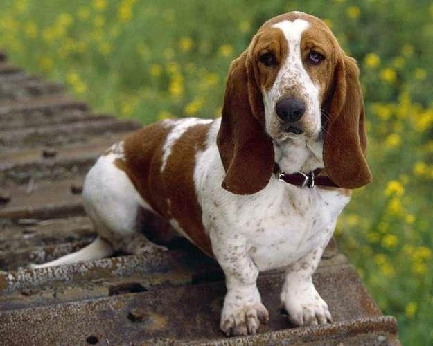 The Basset Hound | 7 Popular Medium Dog Breeds Ideal for Families