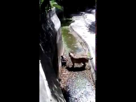 ACTUAL VIDEO FOOTAGE OF INDIAN WHITE TIGER KILLING MAN AT DELHI ZOO !!