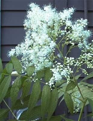 Rönnspirea Sorbus sorbifolia