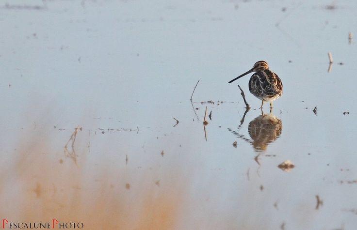 Pescalune Photo: Bécassine des marais (Gallinago gallinago), Common Snipe