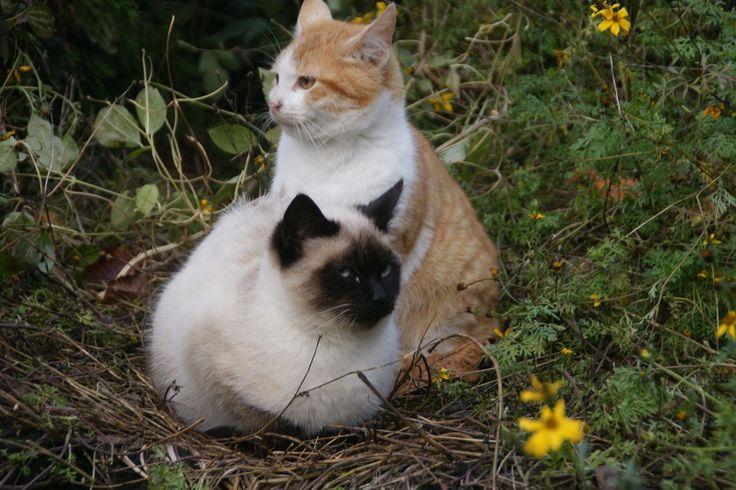 koty-bracia w ogrodzie Hortulus w Dobrzycy