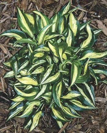 ***Hosta 'Dixie Chickadee' - Mini, Lavender flowers - (T. Avent NR)