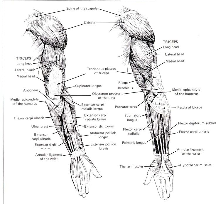 1000+ images about Anatomy - Arm on Pinterest | Sketchbooks ...