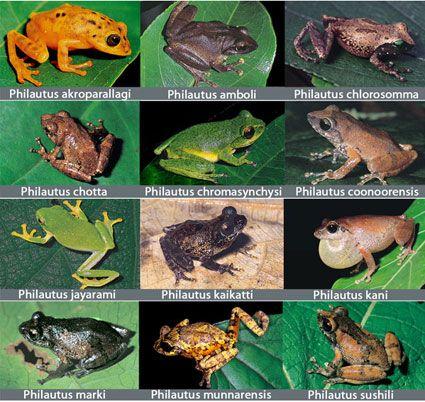 frogs species   Dozen Frog Species Discovered in India's Western Ghats