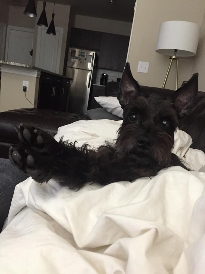 SHELBY - Schnauzer Yorkie Mix - Adorable