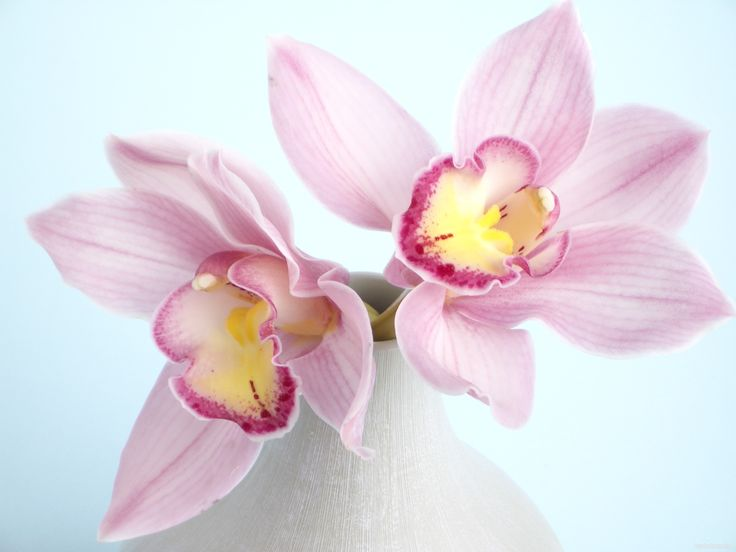 красивые цветы мира | обои Розовые орхидеи 2 штуки фото