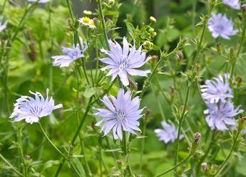 Chicorée sauvage - informations   Fleurs sauvage du Québec; Vivace comestible. La chicorée est une plante peu capricieuse qui croît dans les sols pauvres. On la retrouve souvent au bord des routes et dans les terrains vagues ce qui explique qu'elle est parfois considérée comme une « mauvaise herbe ». Pendant toute la saison estivale, elle produit en abondance de magnifiques fleurs bleues dont la couleur s'estompe rapidement pour le rose, le blanc puis le brun.