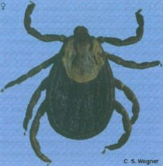 The Rocky Mountain wood tick is a primary vector of Rocky Mountain spotted fever, a severe infectious disease with a mortality rate of more than 20 percent.