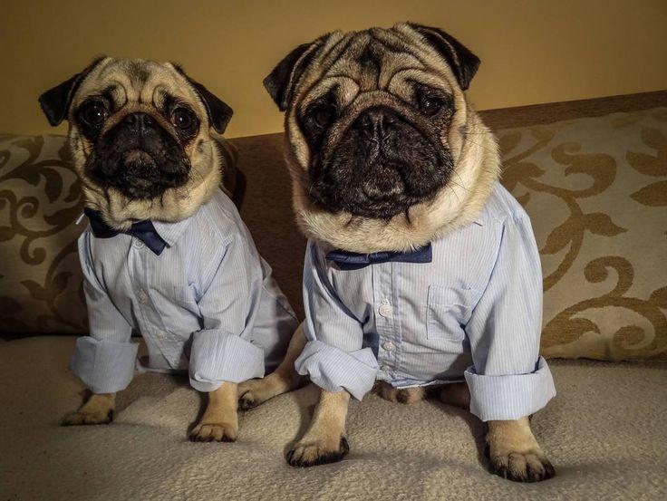 Bubble is such a copycat...   #mauricethepug #bubble #queenb #confused #copycat #copydog #copypug #copy #tirgumures #romania #dog #mops #puppy #puglife #pugchat #pugstory #pug