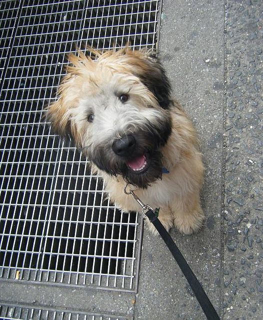 A Soft Coat Wheaten Terrier....if you want one check out Wheatens In Need website.  It's a Wheaten rescue site.