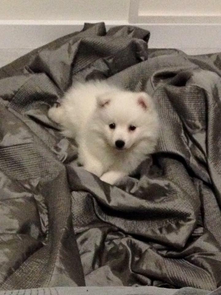 Japanse Spitz/spits #Dog #Puppy