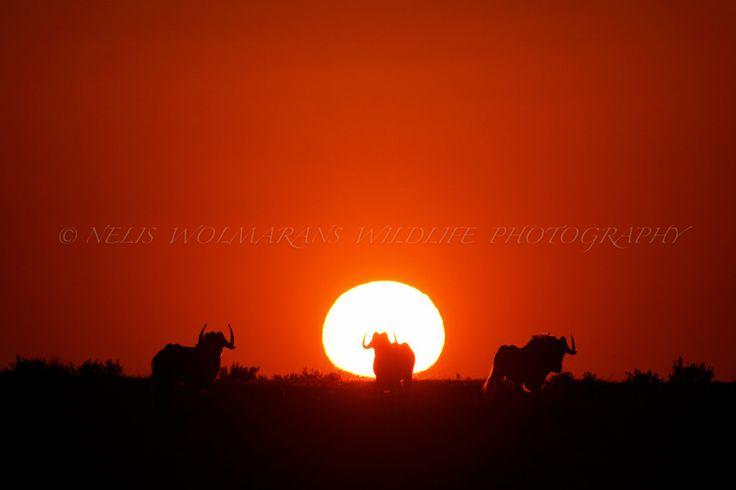 Wildebeest Sunset by Nelis Wolmarans on 500px