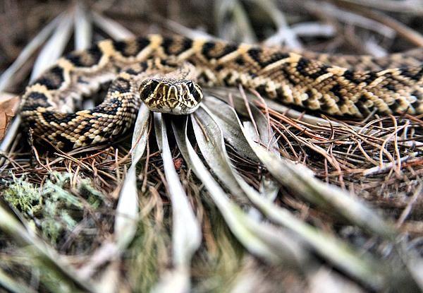 rattlesnake,rattlesnakes, eastern diamondback diamond back,eastern diamondback rattlesnake, diamondbacks,edb, rattlesnakes, rattler, rattlers, venom, venomous, poison, poisonous,poisonous snake,poisonous snakes,venomous snake,venomous snakes,snake,snakes, north carolina snakes, nc snakes, alabama snakes,al snakes,reptile,reptiles,georgia snakes, ga snakes,fl snakes, florida snakes, crotalus ademanteus,juvenile