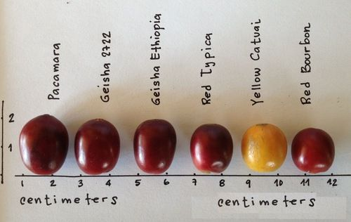 Produced in between the tropics, with varying climates, soil, and growth processes, your cup of coffee has a specific flavor profile that can be traced