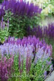 Blomstersaliva. Finns i många olika lila färger. Blommar mitt på sommaren och kan om den klipps ner efter det hinna med ännu en blomning frammåt hösten.