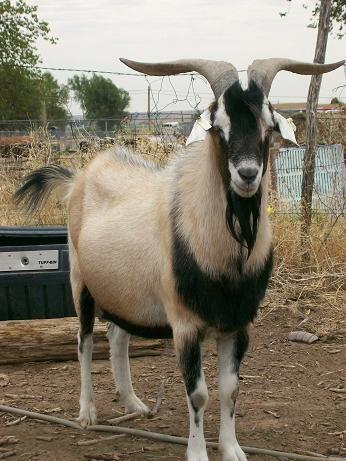 Kiko Goat | Our Herd Sires - Silver Sun Kikos Goat Ranch