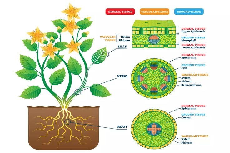 Tissue Definition and Examples in Biology | Plant tissue ...