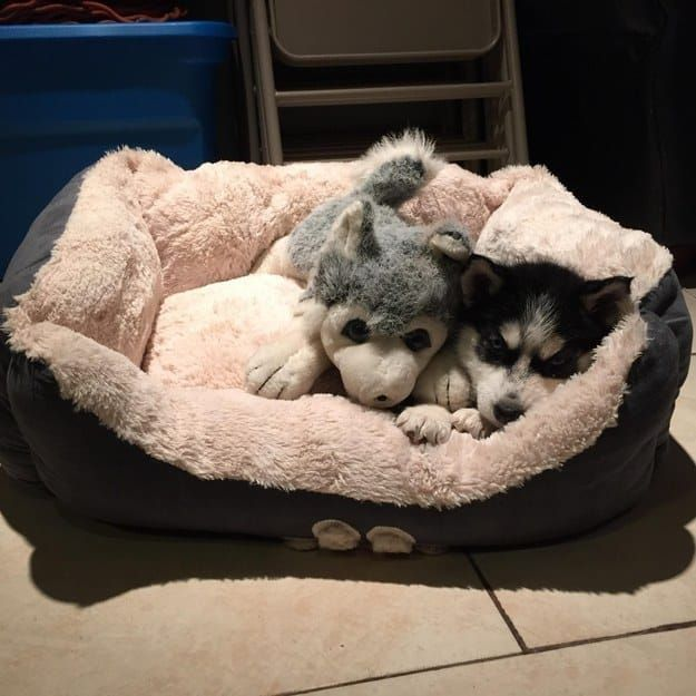 The 100 Most Important Puppy Photos Of All Time – 56. The Husky Who Just Met His Match; This lil' guy doesn't know why his toy looks just like him…BUT HE LOVES IT. http://www.pindoggy.com/pin/the-100-most-important-puppy-photos-of-all-time-56-the-husky-who-just-met-his-match-this-lil-guy-doesnt-know-why-his-toy-looks-just-like-him-but-he-loves-it/