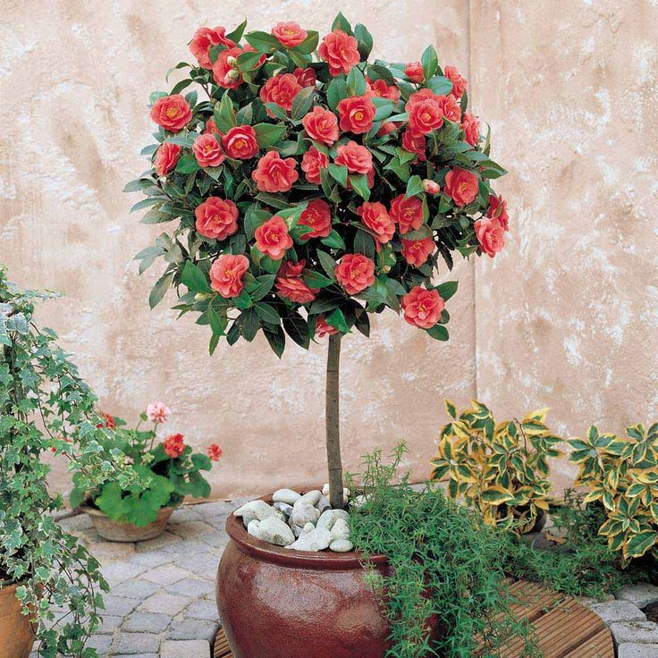 Camellia plant camellia standard shrubs gardening - Camelia planta ...