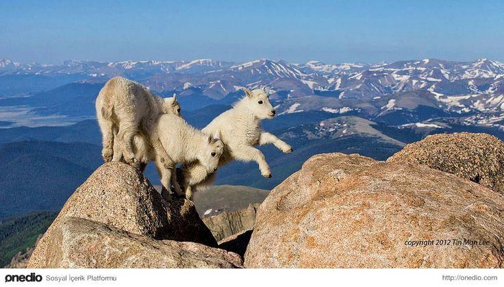 4267 metre yükseklikte oyun oynayan keçi yavruları.