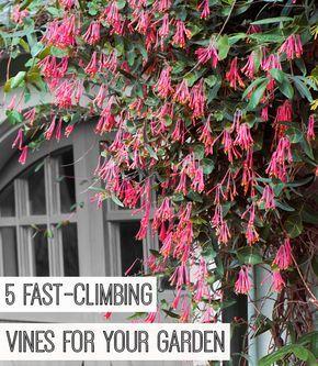 les 25 meilleures id es concernant plante grimpante rapide sur pinterest arbres croissance. Black Bedroom Furniture Sets. Home Design Ideas