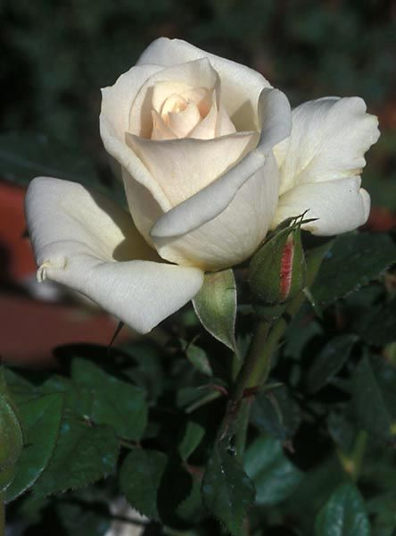 Amy Grant miniature tea rose