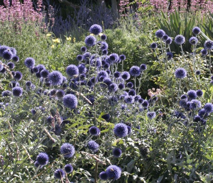 Echinops ritro 'Veitchs Blue' from Lambley Nursery in Victoria, Australia. Specializes in dry gardens -- watering only 4 times a year!