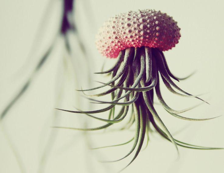 Ontwerper Cathy Van Hoang uit Los Angeles maakt van plantjes en het pantser van een zee-egel mooie kunstwerkjes die lijken op een kwal of inktvis. De basis voor de Jellyfish Air Plants is dus het pantser …