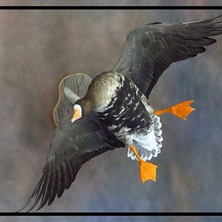 specklebelly goose mount - Google Search