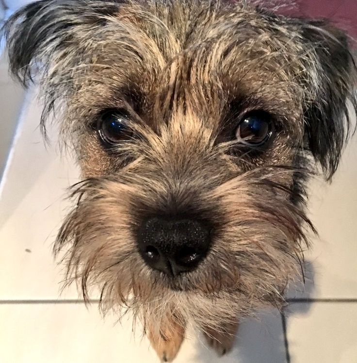 "The Wednesday Edit on Twitter: ""This face isn't helping with the procrastination levels...#cutetho #borderterrier https://t.co/EDg52eeOs8"""
