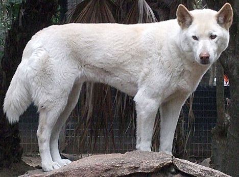 23 best Albino wolfs images on Pinterest | White wolves ...