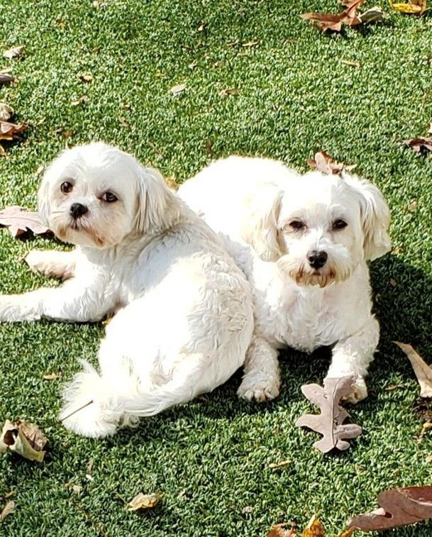 Adopt Dolly Natalie On Petfinder In 2020 Shih Tzu Poodle Mix Miniature Puppies