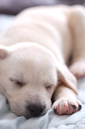 Your puppy may experience separation anxiety the first few days or weeks in his new home. Now is the time to create structure in his life. Once he has a schedule and looks to you for direction, your pup will find comfort in his surroundings and sleep through the night.