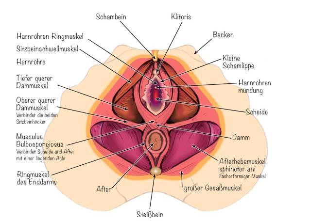 Mascha Düben. Der Beckenboden mit seinen drei Hauptmuskeln, Anatomische Illustration für Pilates Unterricht. Steißbein, Schambein, Muskelschichten,