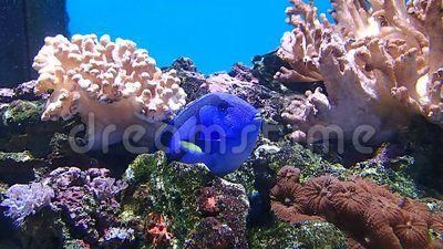 A blue fish waiting between rocks
