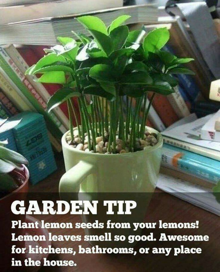 Plant your lemon or lime seeds