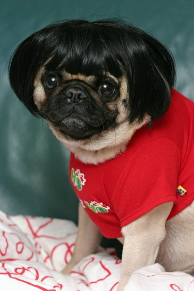 : Funny Dogs, Dogs Memes, Dogs Fashion, Funny Pugs, New Haircuts, Dogs Bobs, Wigs, Mom Hair, Animal Funny