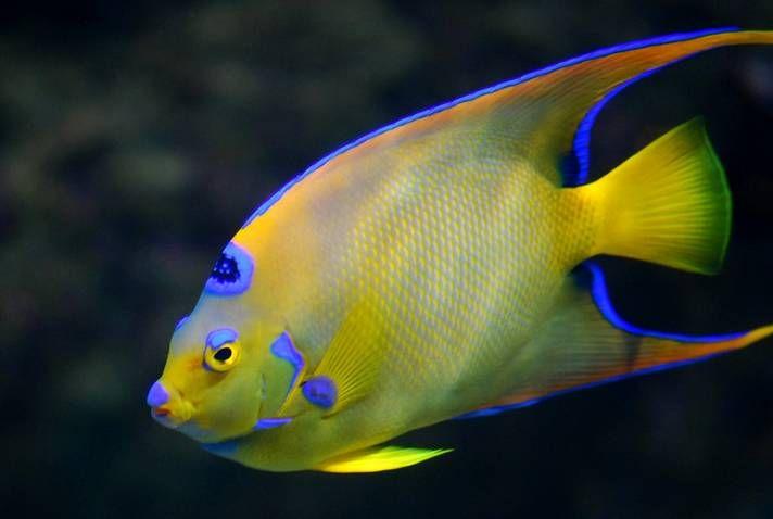 Queen Angelfish | Come Swim with Me | Pinterest