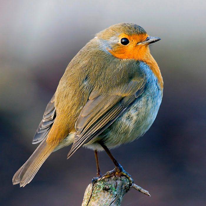 "European Robin ~ Miks' Pics ""Fowl Feathered Friends lV"" board @ http://www.pinterest.com/msmgish/fowl-feathered-friends-lv/"