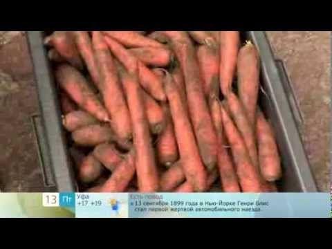 Сохранить морковь в опилках  (Save carrot shavings