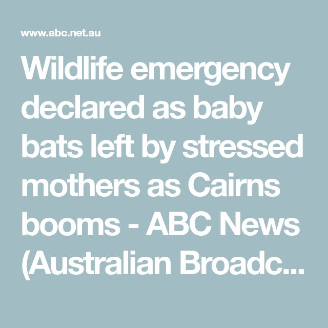 Wildlife emergency declared as baby bats left by stressed mothers as Cairns booms - ABC News (Australian Broadcasting Corporation)