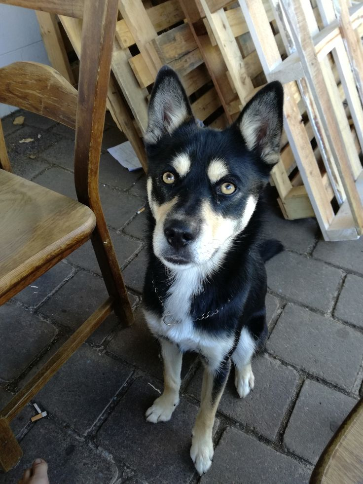 Frankie (C) #dog #puppy #pet #petsitting #madpaws #pawshake #melbounre #cute #fluffy #husky #kelpie #huskykelpie